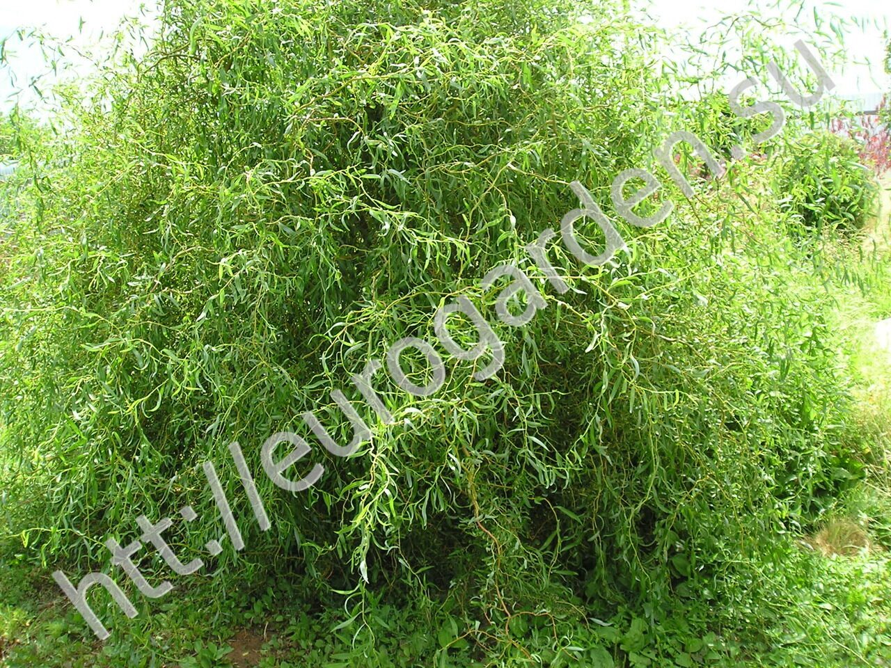 Salix_sepulcralis_erythroflexuosa